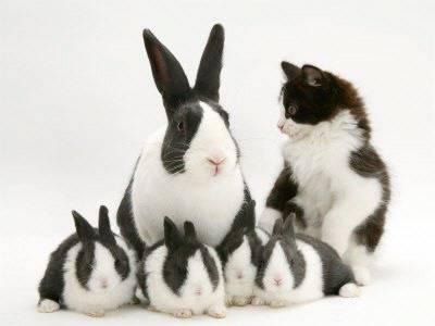 Описание кроликов породы бабочки