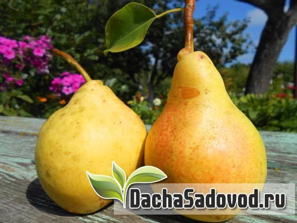 Груша тема: описание сорта, его характеристики и фото плодов selo.guru — интернет портал о сельском хозяйстве