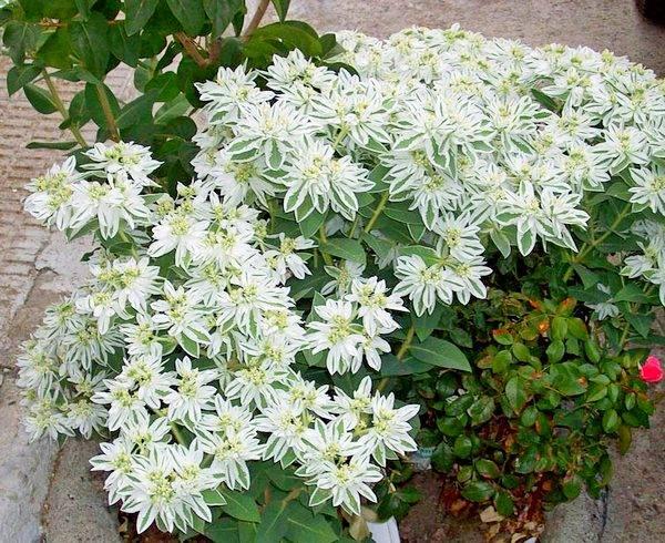 Молочай окаймленный - характеристики цветка с фото, выращивание из семян selo.guru — интернет портал о сельском хозяйстве