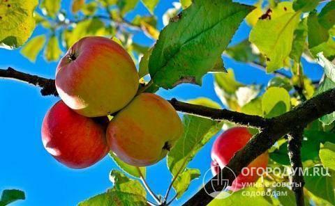 Описание и технология выращивания яблок сорта ред делишес