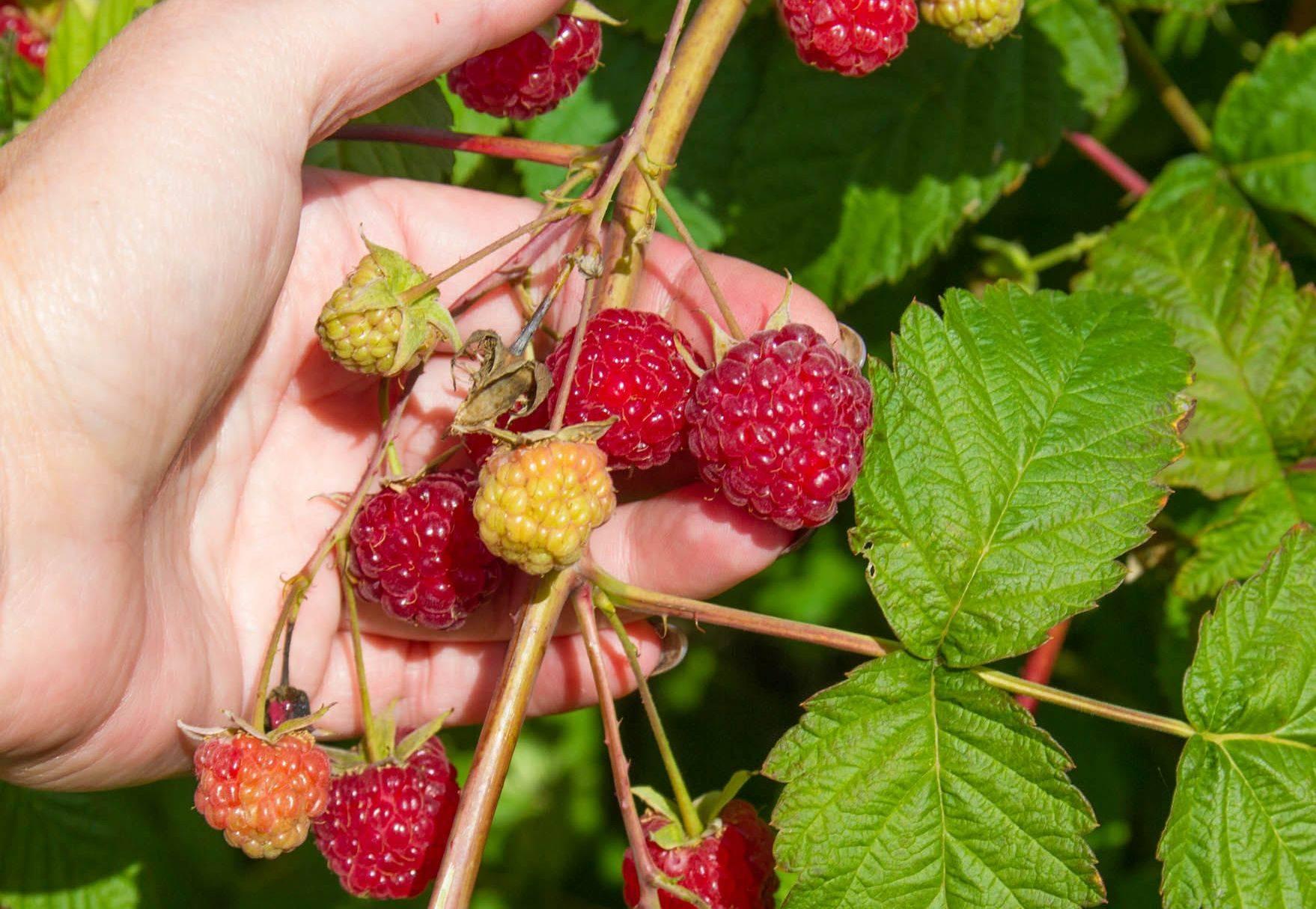 Описание малины сорта бальзам, тонкости выращивания и ухода