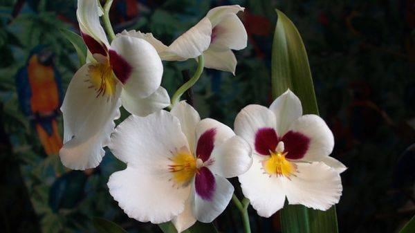 Орхидея мильтония: уход в домашних условиях и пересадка