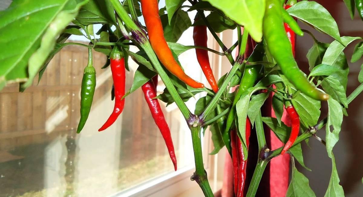 Комнатный сладкий перец — выращиваем паприку на подоконнике!
