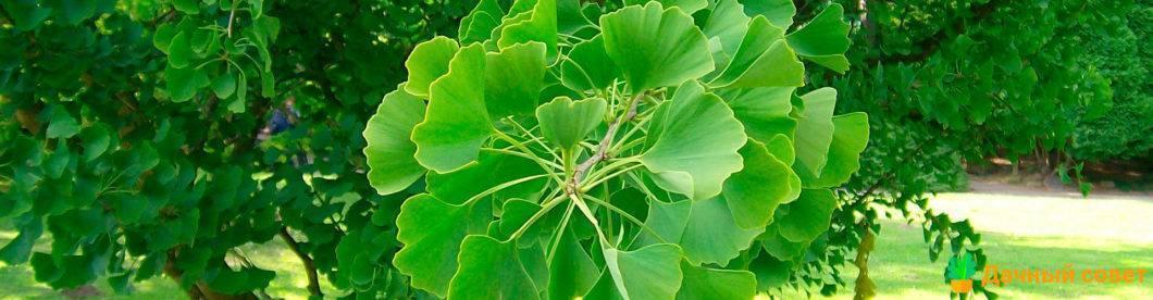 Гинкго – виды, выращивание, размножение