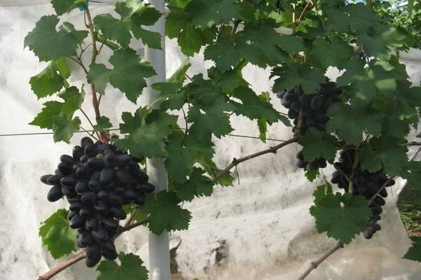 Сорт винограда велика: что нужно знать о нем, описание сорта, отзывы
