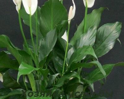 У спатифиллума темнеют цветки, листья и их кончики: почему и чем помочь растению в этой ситуации?