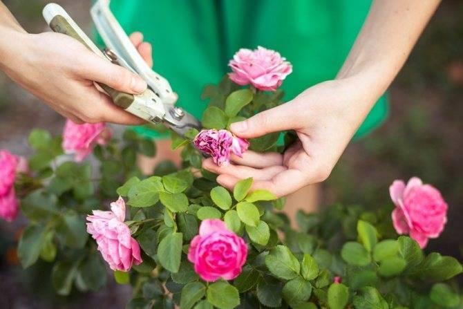 Чем подкормить розы весной