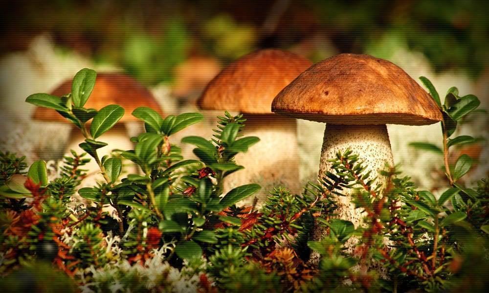 Где в подмосковье притаились самые грибные поляны и как подготовиться к тихой охоте