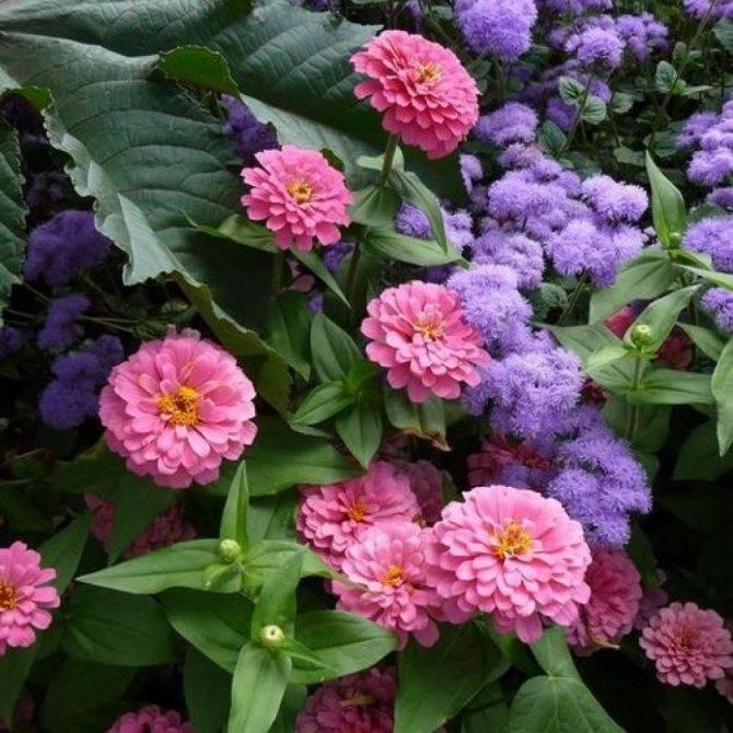 Циния: уход и посадка в открытый грунт, выращивание из семян, фото