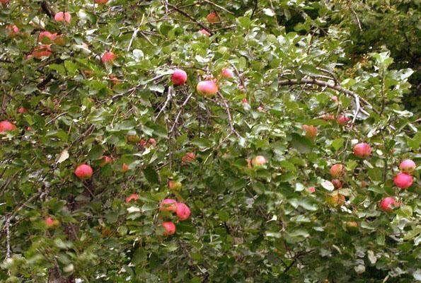 Сорта яблонь для ленинградской области: колоновидные, посадка