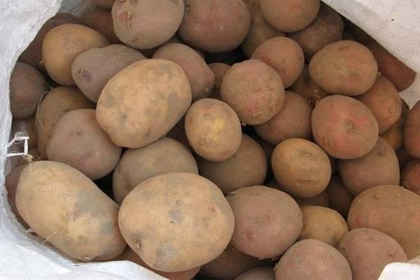 Сорт картошки голубизна — описание и выращивание