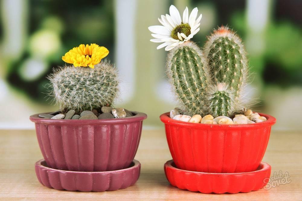 Правильный уход за кактусами дома