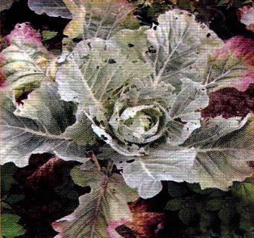 Как избавиться от фиолетовых листьев у капусты
