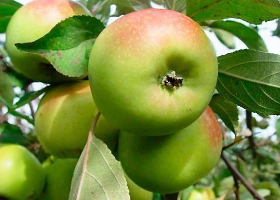 Яблоня баяна описание сорта фото отзывы