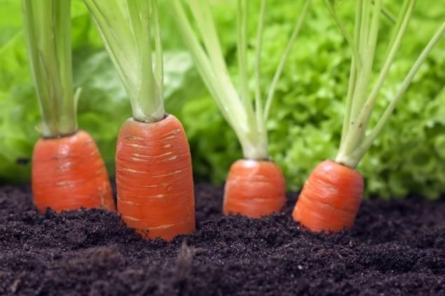 Что сажать после моркови. после чего сажать морковь
