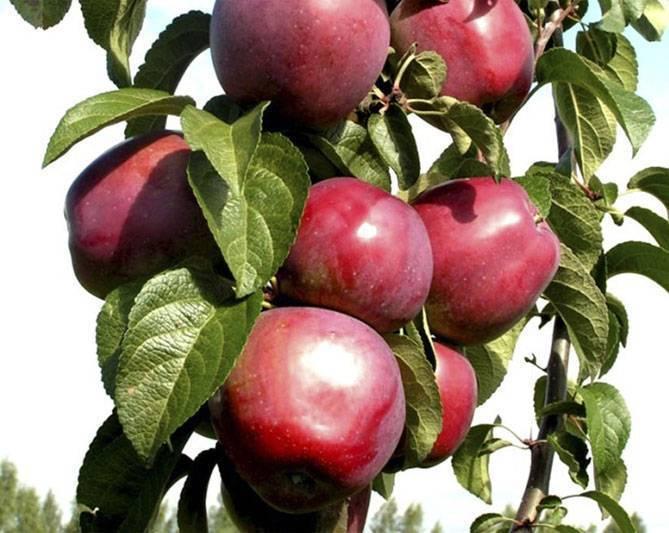 Колоновидная яблоня созвездие описание сорта - агро журнал dachnye-fei.ru