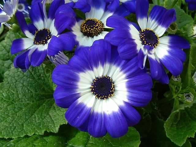 Цинерария гибридная - выращивание из семян и уход в домашних условиях