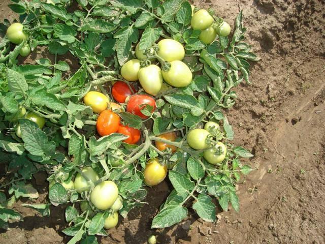 Томат «челнок» отзывы фото урожайность