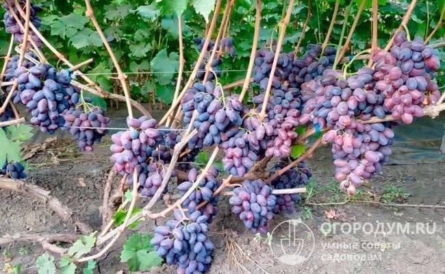 Описание винограда «байконур»: характеристика сорта, особенности внешнего вида, обзор отзывов