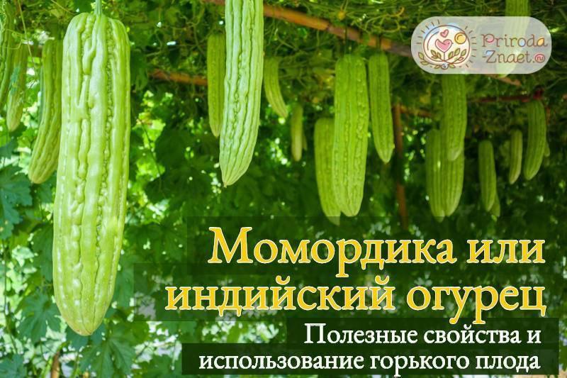 Как вырастить момордику из семян?