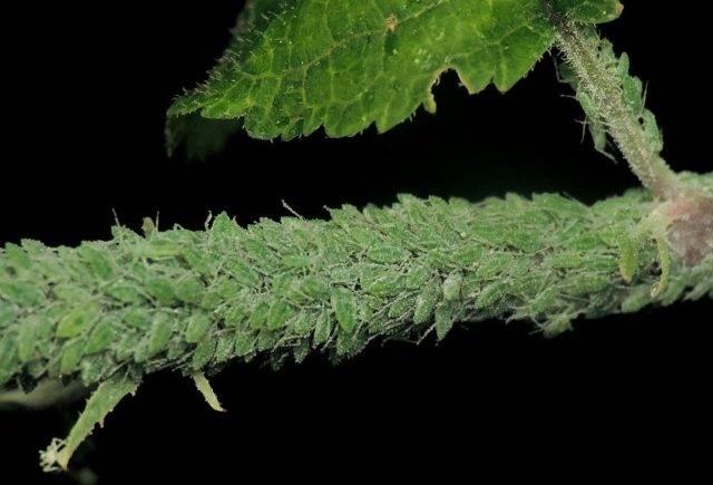 Мучнистый червец - ужасный вредитель цветов- все про борьбу с ним