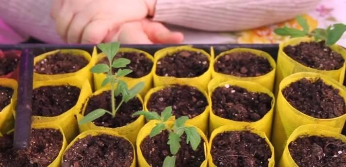 Как правильно пикировать рассаду томатов в домашних условиях фото видео