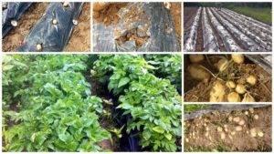Выращивание рассады томатов по методу галины кизима