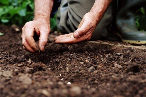 Описание сорта огурца бидретта f1, особенности выращивания и ухода