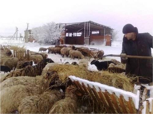 Чем кормить овец?