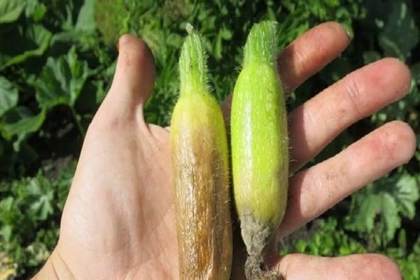 Почему кабачки гниют в открытом грунте на грядке: что делать с порчей овощей на кусте
