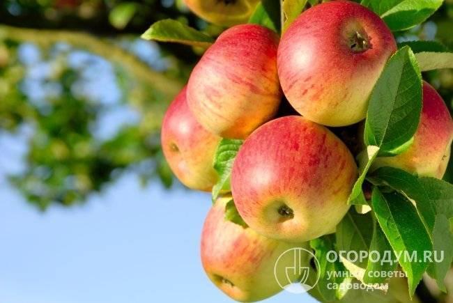 Яблоня сорта штрифель
