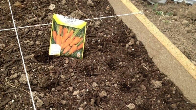 Правильная технология посадки моркови под зиму осенью: уход и расстояние между грядками