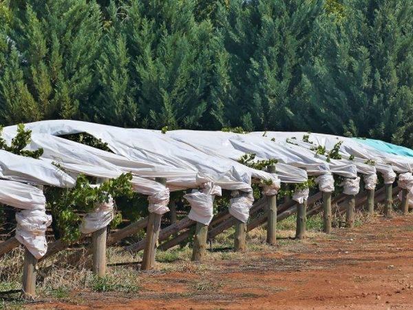 Как укрывать виноград на зиму и чем: лучший материал, видео процесса