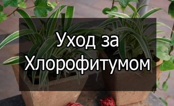 Цветок хлорофитум оранжевый — описание и уход
