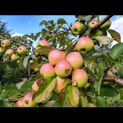 """Яблоня чудное - описание сорта, фото, отзывы - журнал """"совхозик"""""""