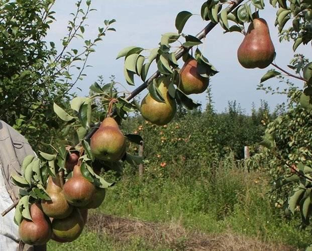 Груша брянская красавица, описание сорта, характеристика и отзывы, особенности выращивания