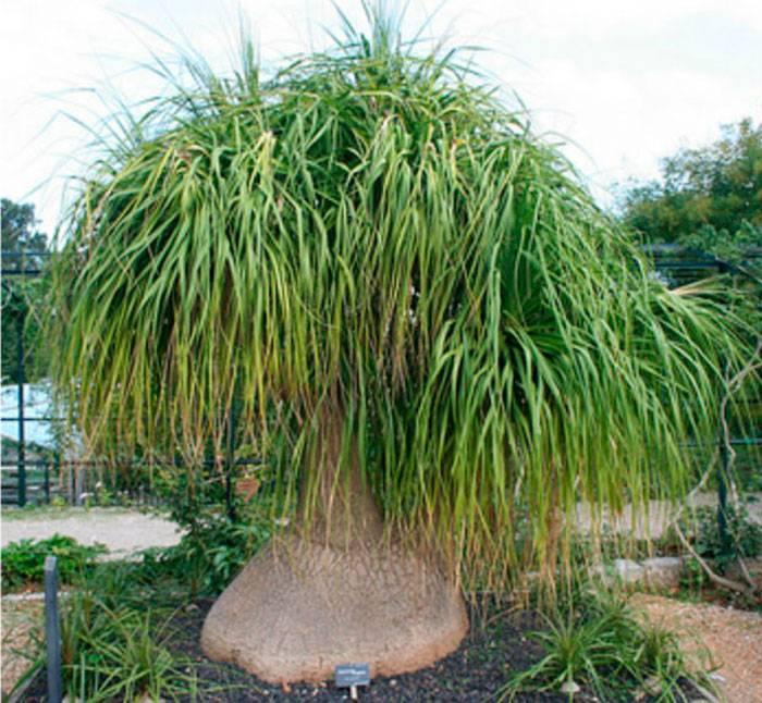 Декоративное растение нолина (бокарнея, бутылочное дерево): фото, уход в домашних условиях, пересадка, болезни и вредители