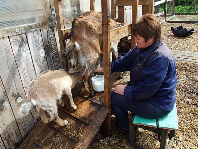 Сколько раз в день нужно доить козу после окота и правила выполнения процедуры