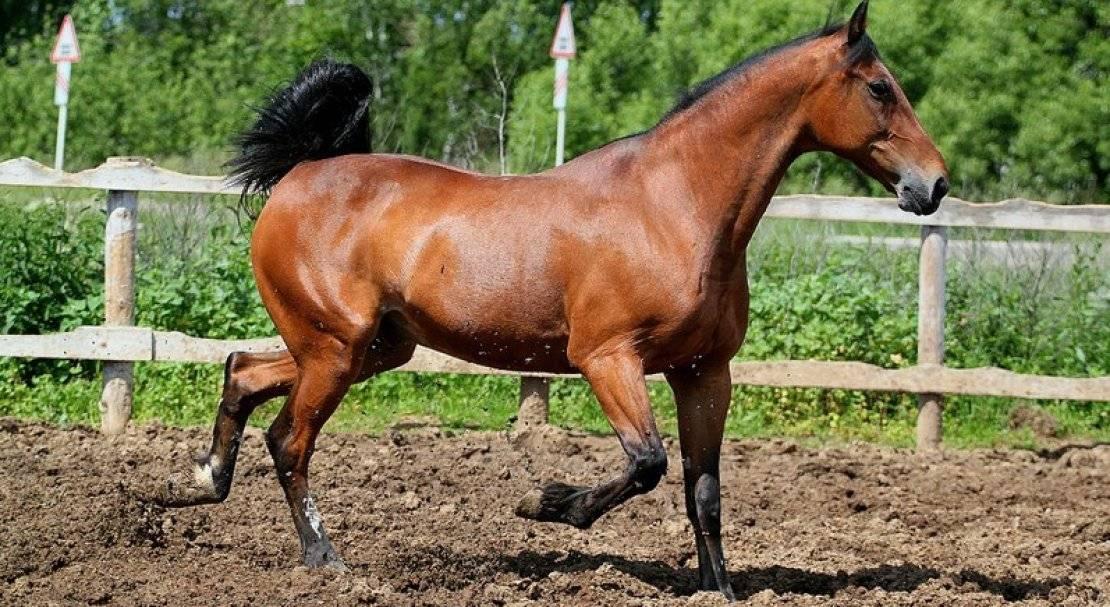 Обзор лошадей породы рысак