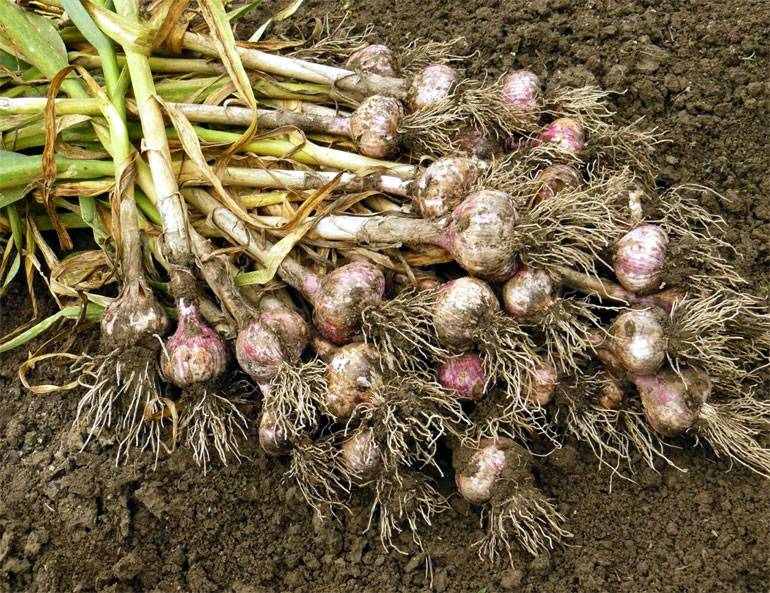 Когда убирать чеснок: сроки созревания и выкапывания летнего и зимнего урожая
