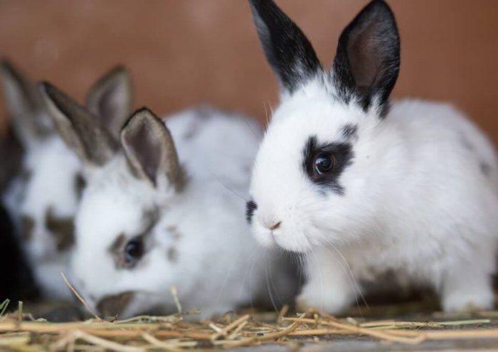Новорожденные кролики: когда открывают глаза, выходят из гнезда