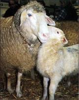 Кормление и содержание овец в зимний период: обзор и фото кормление и содержание овец в зимний период: обзор и фото