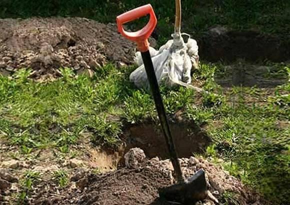 Как правильно сажать грушу в грунт весной: где посадить, пошаговое руководство по посадке груши