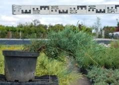 Можжевельник виргинский: описание, виды с фото, выращивание