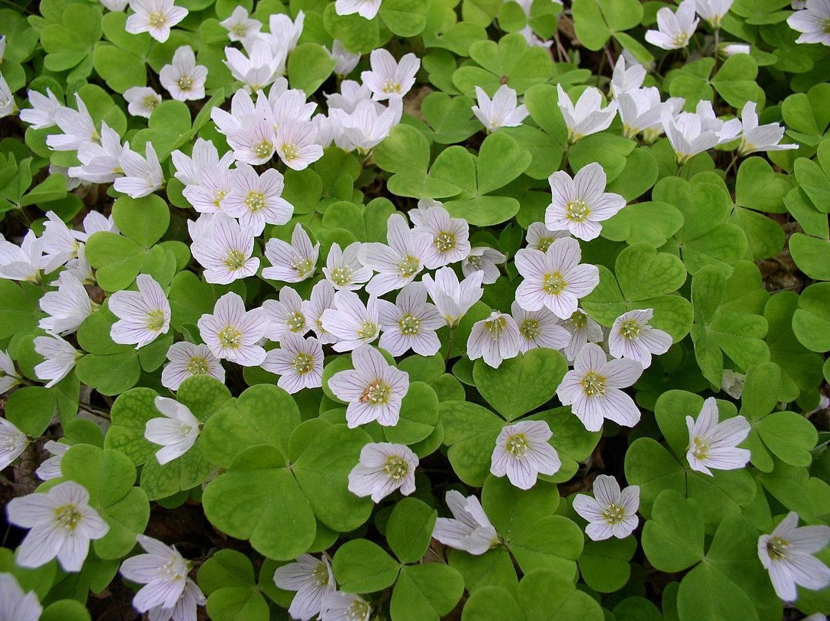 Заячья капуста - описание растения с фото и лечебные свойства, рецепты народной медицины