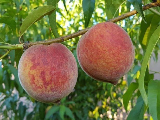 """Персики в подмосковье"""": лучшие сорта, уход и выращивание"""