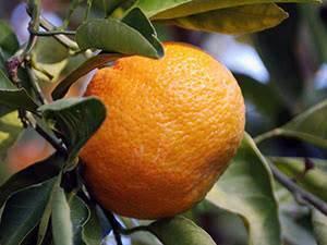 Мандарин комнатный, мандарин уншиу - уход в домашних условиях. как вырастить мандарин из косточки