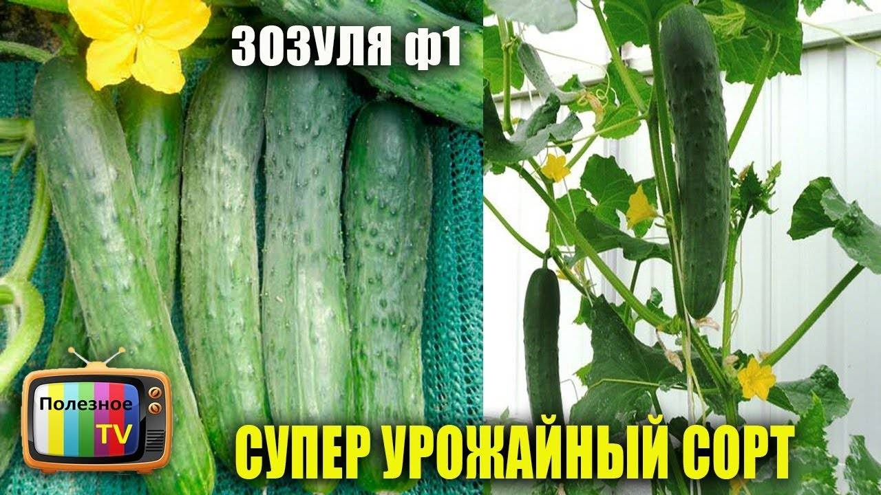 Огурец зозуля f1: описание и характеристика сорта, особенности выращивания, фото, отзывы