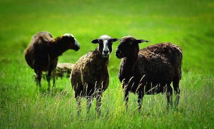 Карачаевская овца — википедия