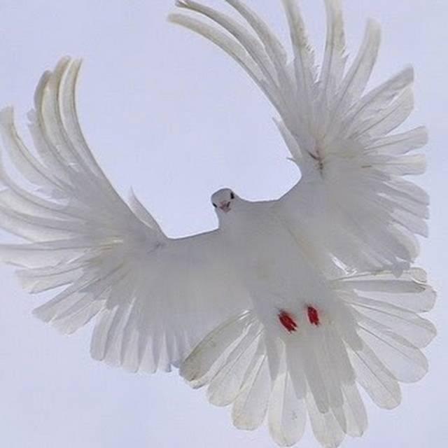 Голуби серпастые: фото, как выглядит, характеристики и уход, содержание и разведение птицы